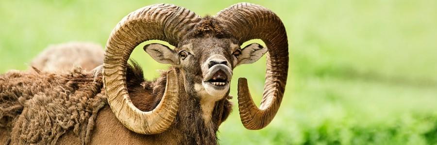 mouflon-2413547_1280